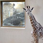 Help Name the Maryland Zoo's Baby Giraffe