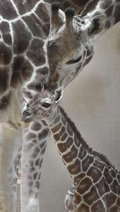 Meet the Zoo's Newly Named Giraffe Calf