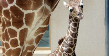 """<span class=""""entry-title-primary"""">Cute Animal Alert!</span> <span class=""""entry-subtitle"""">Update on the zoo's newest baby giraffe</span>"""