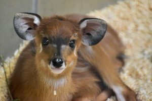 "<span class=""entry-title-primary"">What's a Sitatunga?</span> <span class=""entry-subtitle"">Awfully Cute ...</span>"
