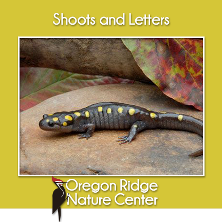 Shoots and Letters – Salamanders